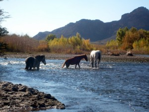Wild horses on the Salt River